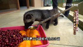 印尼麝香貓 SOT