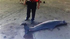 海巡署岸巡23大隊4日上午接獲通報,觀音海水浴場發現1頭長約2米的侏儒抹香鯨,已經死亡,大隊人員前往了解處理,等候鯨豚協會抵達處理後續。(岸巡23大隊提供) 中央社記者卞金峰傳真  105年10月4日 16:9