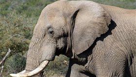 -大象-▲圖/攝影者flowcomm flickr CC License-https://www.flickr.com/photos/flowcomm/14129968951/