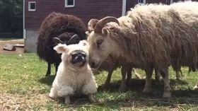 批著羊皮的狗?可愛巴哥穿綿羊裝混入 被羊群拆穿後遭圍捕。資料來源:pugdashians IG