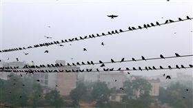 ▲上萬隻麻雀在佔據電線「集會」。(圖/翻攝自中新社) http://www.hq.xinhuanet.com/photo/2016-10/13/c_1119710988_2.htm
