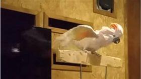 暴怒,鸚鵡,破壞,圓形,鳥籠,志工,角落,髒話 圖/翻攝自YouTube