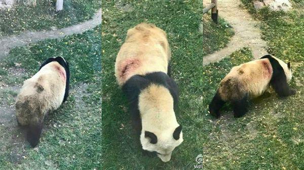 貓熊,虐待,微博,http://news.163.com/16/1015/20/C3EQBPR90001899O.html