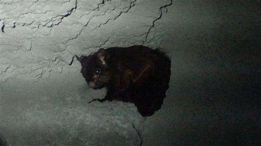 台北市立動物園17日表示,大赤鼯鼠是台灣體型最大的飛鼠,近期獲救存活的1隻大赤鼯鼠,將開始在園內台灣區的保育廊道亮相,動物園並精心為牠製作仿樹洞。(台北市立動物園提供)