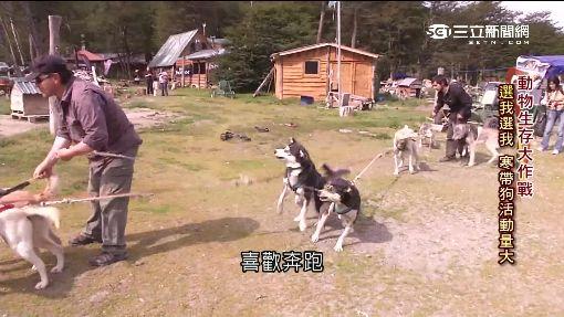 """雪橇犬""""打工""""換糧 暖化危及寒帶狗生存"""