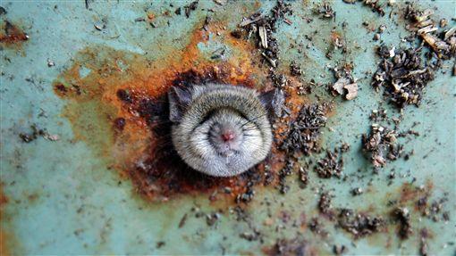 美國紐約布魯克林區一隻小老鼠受困垃圾桶通風口(圖/路透社)
