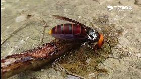 蜂螫30針亡1200