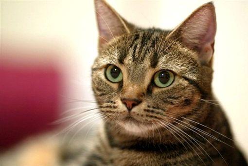 貓,寵物,虎斑貓(圖/翻攝自iris-pet.com)