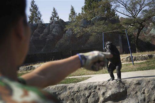 北韓訓練黑猩猩抽菸。(圖/翻攝自Metro)-http://metro.co.uk/2016/10/19/chimpanzee-trained-to-smoke-pack-of-cigarettes-every-day-in-north-korea-zoo-6201894/