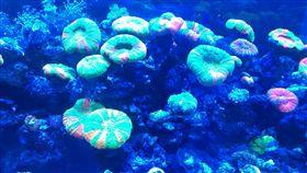 珊瑚好美,可以自己在家裡的水族箱養嗎?專賣珊瑚的七海海洋生態表示,養海水魚的水族箱即可飼養,但要注意避開會吃珊瑚的魚類,尤其要重視水質、光線、水溫。(圖/中央社)