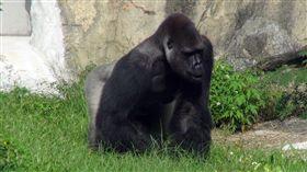 台北市立動物園28日說,2月開始的「金剛猩猩空間管理改善工程」,施工作業終於結束,深受遊客關注的金剛猩猩「寶寶」已完成健康檢查後返回新居,已正式開始與遊客見面。 (動物園提供) 中央社記者劉建邦傳真  105年10月28日