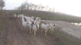 中國大陸江蘇省1名牧羊人飼養的52隻山羊日前被偷。(圖/取自揚子晚報網)http://www.yangtse.com/shehui/2016-10-28/1076174.html