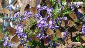 「雙年賞蝶」是每年11月開始至隔年3月在茂林國家風景區的重頭戲,此時,會有成千上萬的紫斑蝶遠渡重洋,來到此地棲息。(圖/翻攝自台灣觀光年曆)