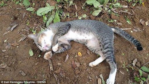 貓咪,印尼,中爪哇省,墓碑,收養,哭泣,普雷伊諾,Keli Keningau Prayitno(http://www.dailymail.co.uk/news/article-3890030/Heartbroken-cat-misses-dead-owner-spent-year-living-GRAVE-Indonesia.html)