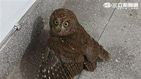 真實文!我在台北市內湖公寓樓梯間 遇見貓頭鷹