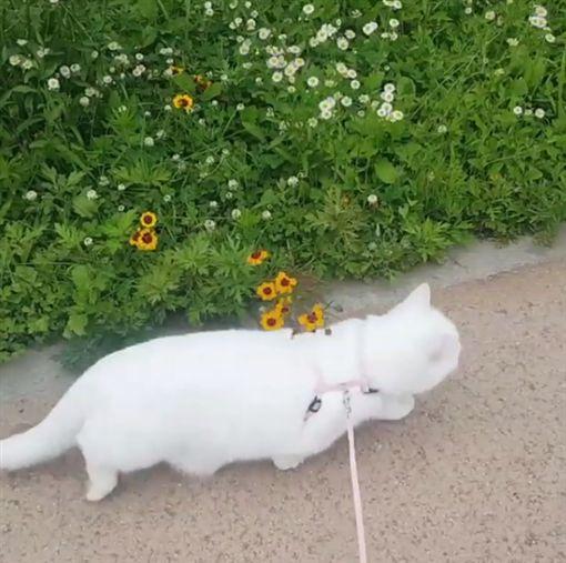 你不是貓!白貓Munji變身倉鼠跑滾輪 也愛繫牽繩散步圖/翻攝自munjiking IG