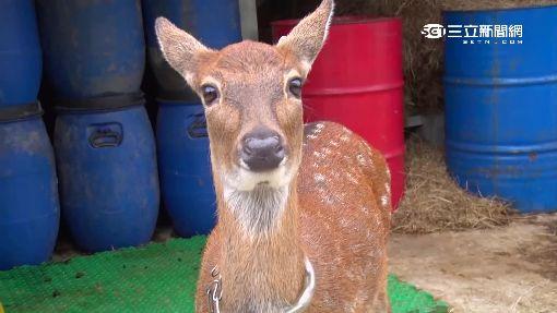 鹿港有鹿了! 超萌6小鹿拚「台灣版奈良」│三立新聞台