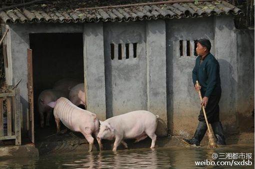 湖南農村豬跳水(圖/翻攝自三湘都市報微博)