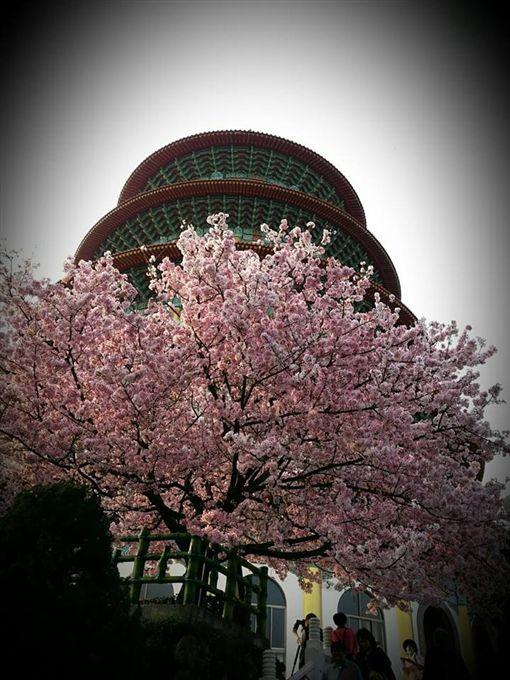 淡水天元宮的櫻花 圖/臉書