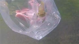 影/比國寶魚櫻花鉤吻鮭還稀少 聽過「台灣白魚」嗎?