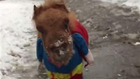比初雪還吸引人!迷你馬穿超人裝雪中賣萌變身「超人小馬」(圖翻攝自臉書スエトシ牧場)