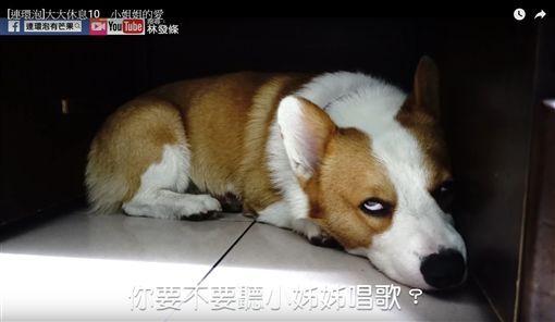 柯基犬「大大」聽到主人小姐姐的歌聲,忍不住直翻白眼。(圖/翻攝自YouTube)