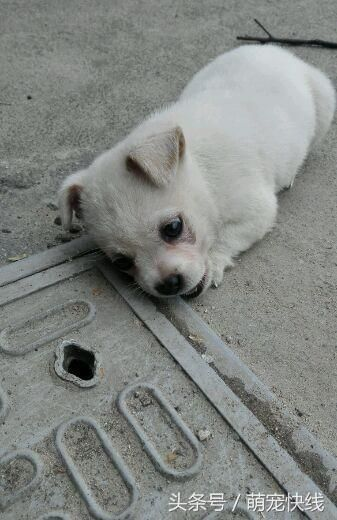 小白狗天天往水溝蓋跑 只為了等待媽媽回來。資料來源:寵物快線