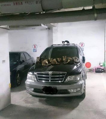 最強擄車集團在這!6隻貓星人趴車上 網友:快拿罐頭換車(圖翻攝自爆料公社)