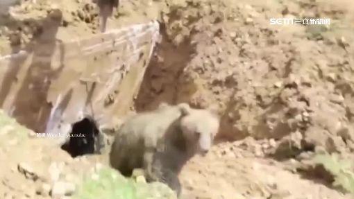 """""""熊掌""""伸求救! 怪手鑽洞挖出大棕熊"""
