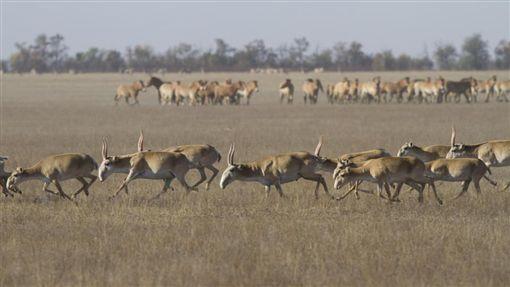 哈薩克草原,高鼻羚羊(圖/翻攝自太陽報)