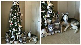 ▲網友佈置出哈士奇聖誕樹。(圖/翻攝自imgur) http://imgur.com/gallery/8RVRx