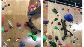日本沖繩,貓咪,攀岩(圖/翻攝自bouldering gym BOULBAKA臉書)