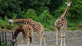 ▲長頸鹿被列為「易危物種」,示意圖。(圖/攝影者Neil Turner, Flickr CC License) https://www.flickr.com/photos/neilt/14267283414/in/photolist-nJKyi5-jBVU9-9aPLkL-6EzgtH-KhAz1-5Yb1L3-4o3wvK-dtjQ6h-6TvCKD-4nnuWt-9eTfBK-gtiGA8-oZmfnE-3dbHS-aAH1f2-7Xq15j-4CGy7n-8d4KxB-6AHGVV-4nrBXw-p6U5Ma-cAJpUs-gtizxt-8f1ZHP-69NMpe-9wwUrM-eWSDKD-nsi1fa-a2h9Zh-c8pCTb-9zqZjN-mjfX6-a2eeKz-9wwUGF-2H3YEX-imGPXF-6Sv3Gq-4K2rp6-dijoeT-79CChk-79ttdB-dbm37p-eb2yPV-qzzoE3-9Z6aUQ-aBYCxk-gti1yz-54yb6x-9E6uKy-L5osX