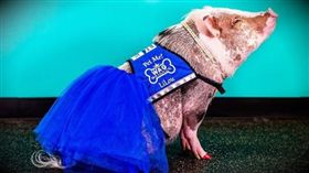 小豬,舊金山,機場 圖/翻攝自lilou_sfpig IG 16:9