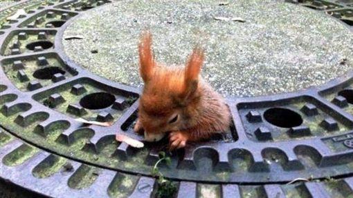 紅松鼠,松鼠,水溝蓋,胖,橄欖油,橄欖油寶貝,收容所,德國,慕尼黑(BBC 中文網)