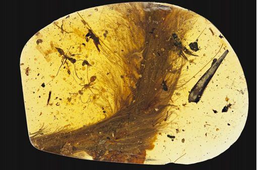 恐龍 標本http://qz.com/858239/a-99-million-year-old-piece-of-amber-definitively-proves-that-dinosaurs-had-feathers/