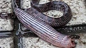 紅斑蛇剛進食完,圖/宜蘭知識+粉絲專頁