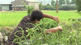 農村,農田,農耕,農民,蔬菜,採收