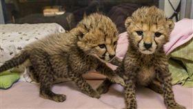 一對獵豹姐妹花剛出生就遭媽媽拋棄。(圖/翻攝自San Diego Zoo Global Zoonooz)