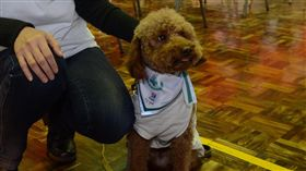 ▲貴賓狗「滿仔」過去曾是被遺棄的流浪犬,經過訓練後成為狗醫師,帶給病患不少歡笑。(圖/公關照)