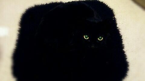 16:9貓咪,喵星人,黑貓,,坐墊,毛色,保護色圖/翻攝自peco_4696 Twitterhttps://twitter.com/peco_4696/media