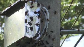 抓虎蜂被螫1800