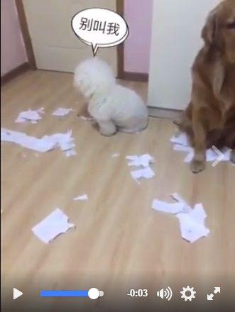 黃金獵犬出賣隊友,圖/爆料公社