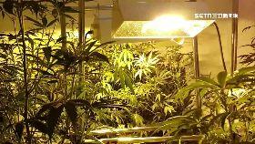 大麻耶誕樹1200