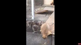 土撥鼠被網友的噴嚏聲嚇到。(圖/翻攝自YouTube)