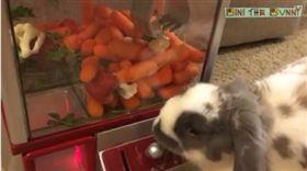 好可愛!萌兔大玩「紅蘿蔔機」 網友:比人類還厲害 圖翻攝自Bini the Bunny https://www.facebook.com/binithebunny/videos/705862269561334/