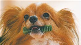 狗,潔牙骨,口腔,毛小孩,寵物,健綠,VOHC,刷牙