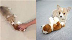 影/堅持不放口!小柯基為搶玩偶 任人拖行成「抹布」。資料來源poopyeaters instagram
