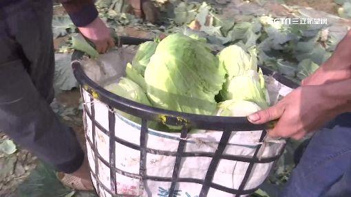 自採高麗菜1顆10元 民眾採不夠爆口角