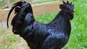 西馬尼烏雞